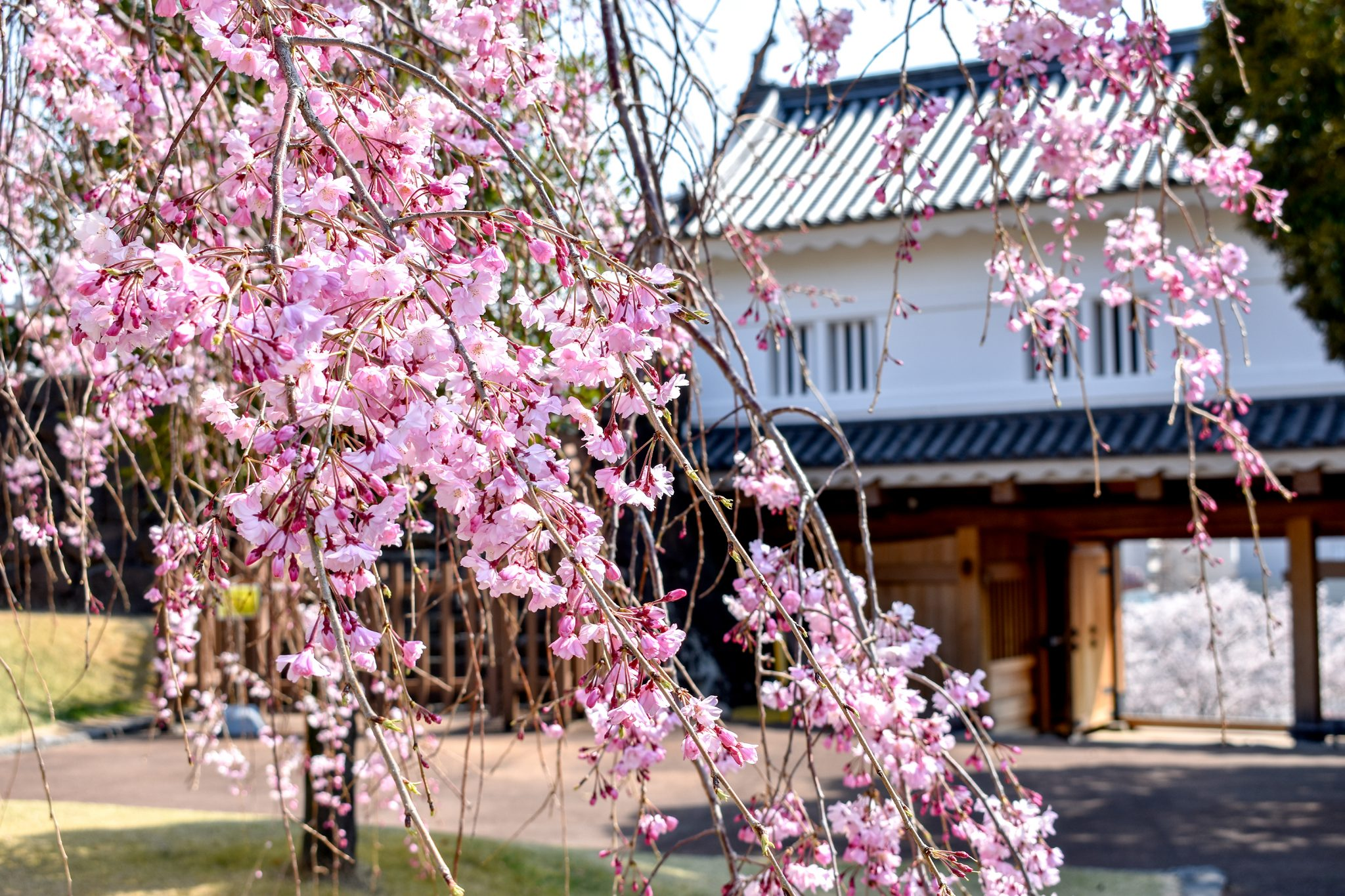 舞鶴城公園の桜 写真8