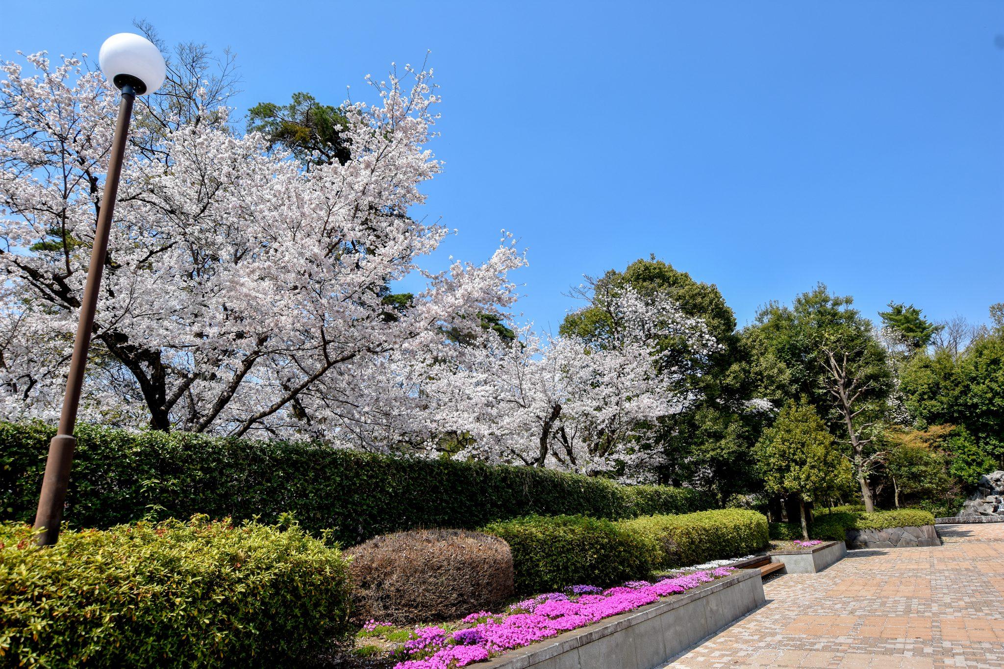 万力公園の桜 写真1