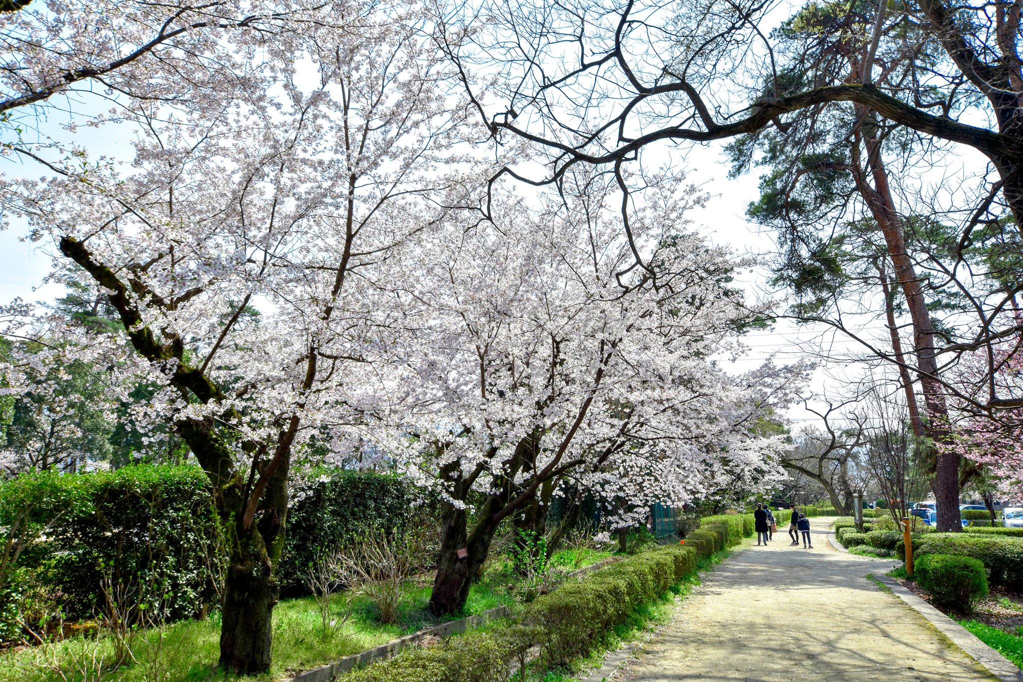 万力公園の桜 写真4