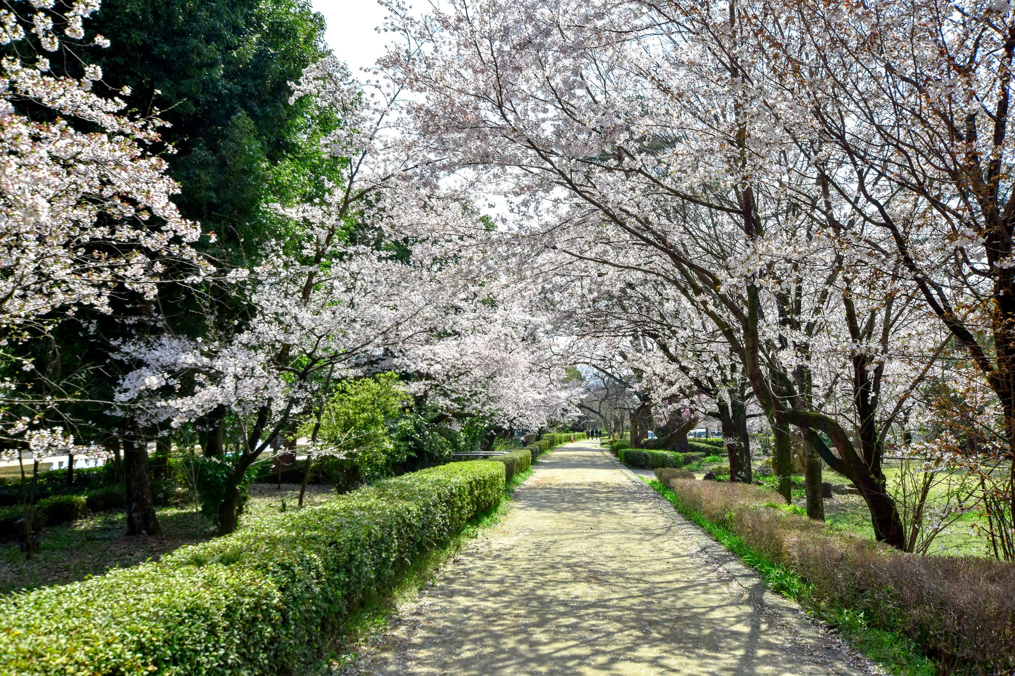 万力公園の桜 写真5