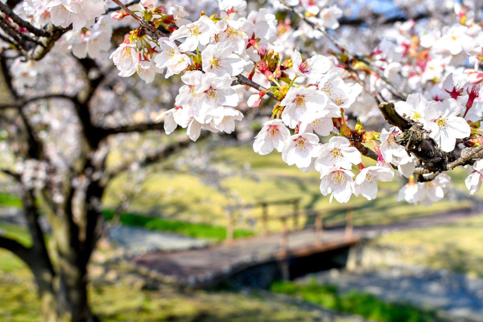 信玄堤公園の桜 写真1