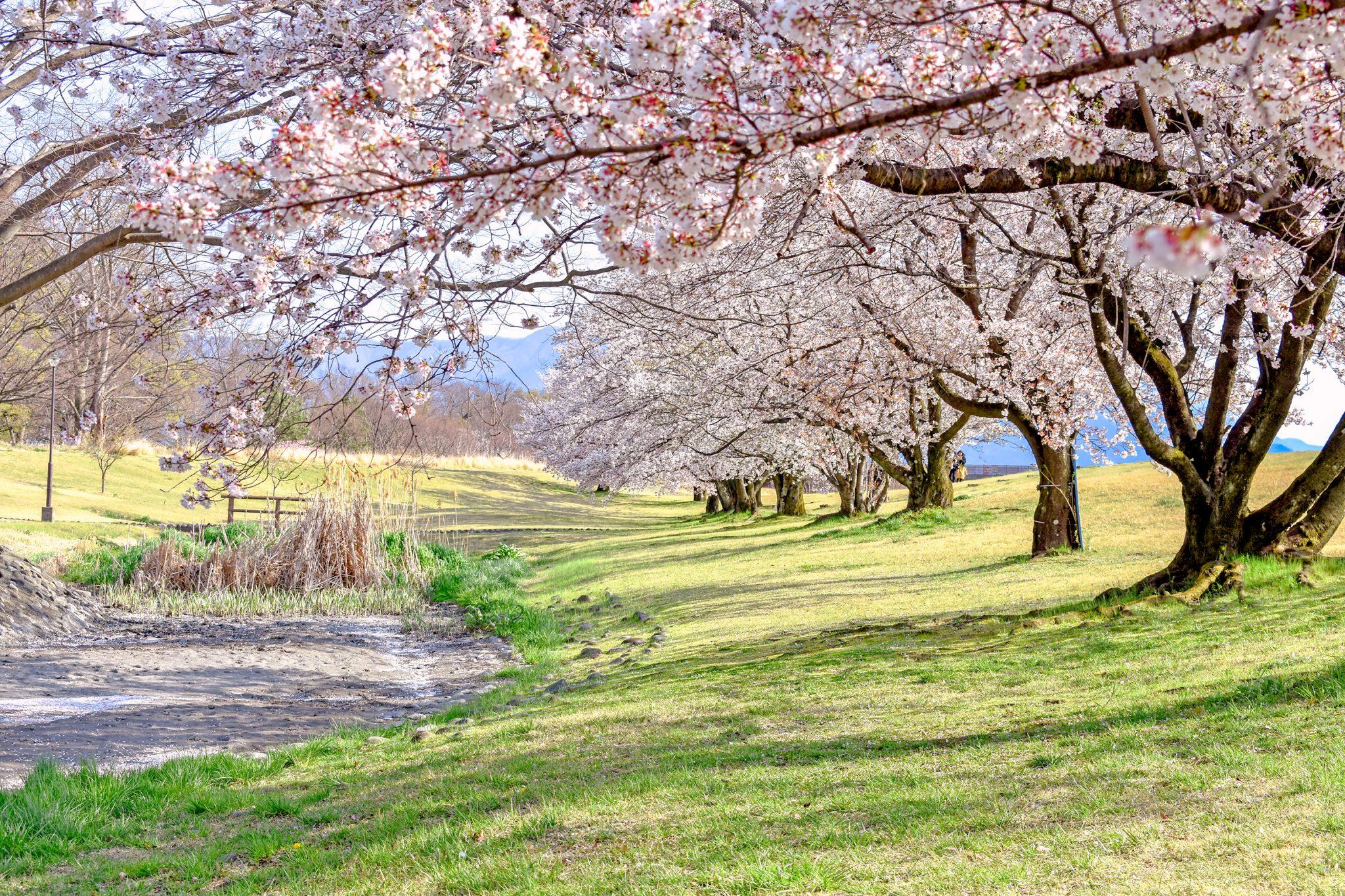信玄堤公園の桜 写真2