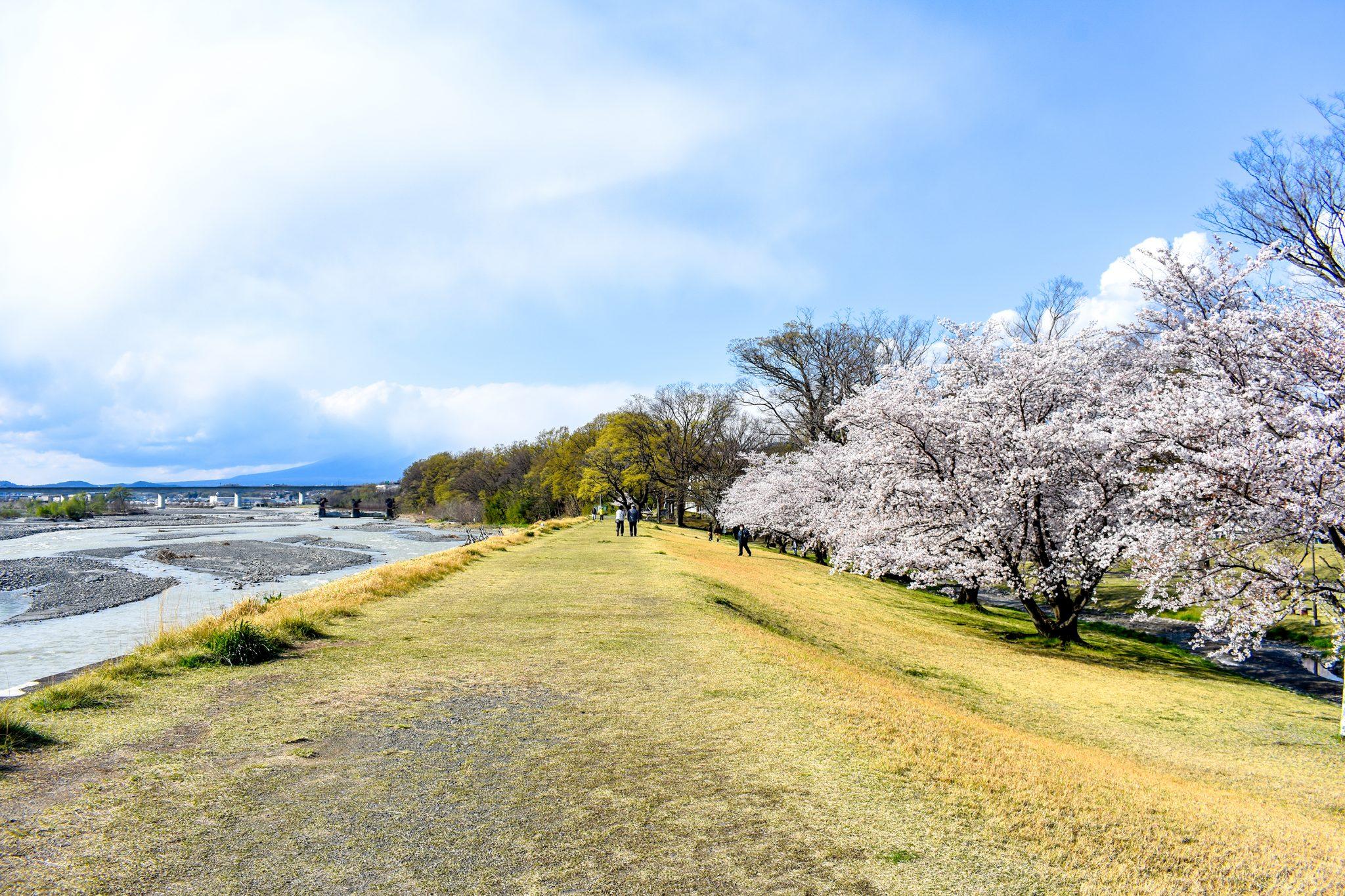 信玄堤公園の桜 写真3