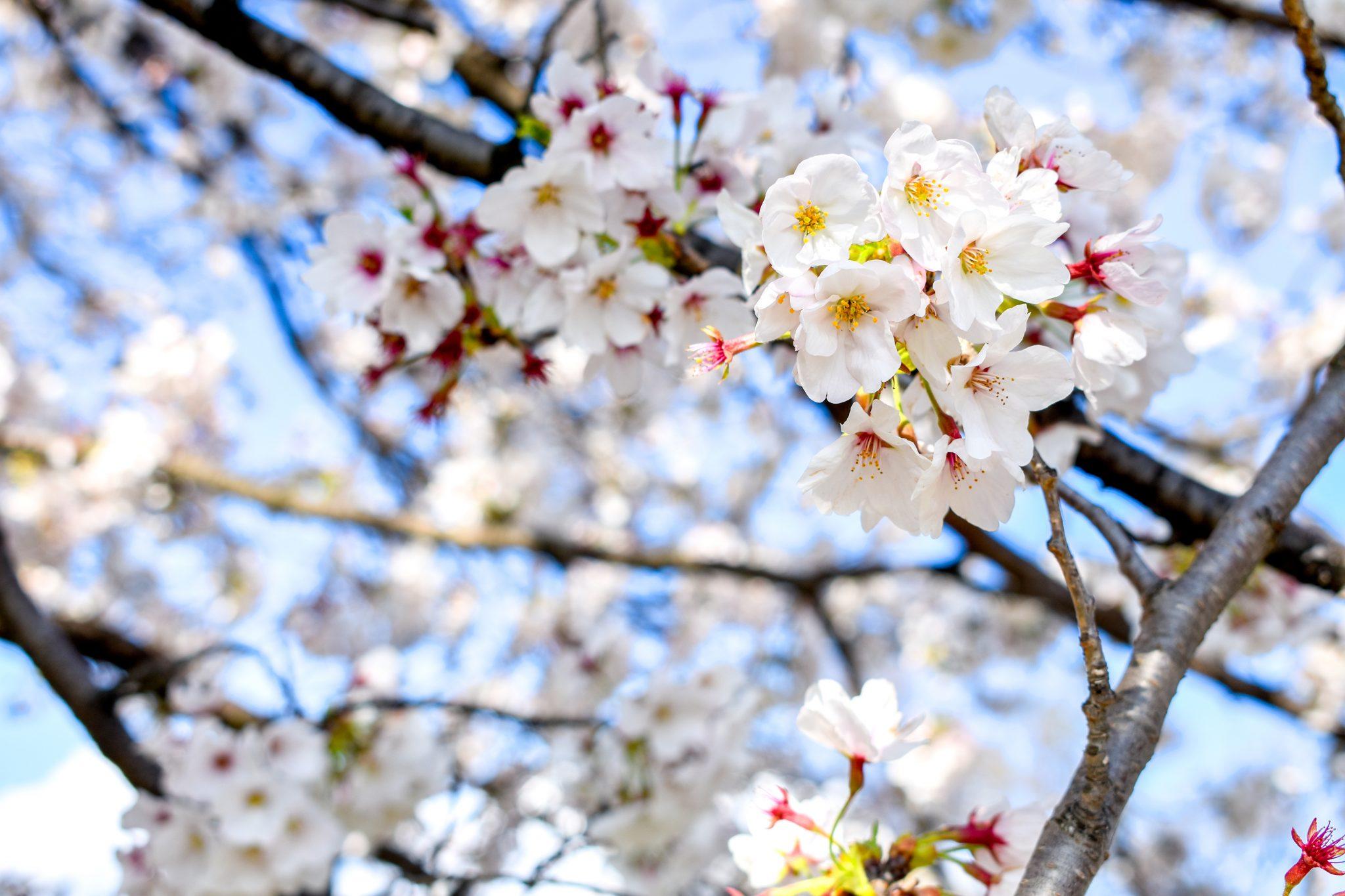 信玄堤公園の桜 写真4