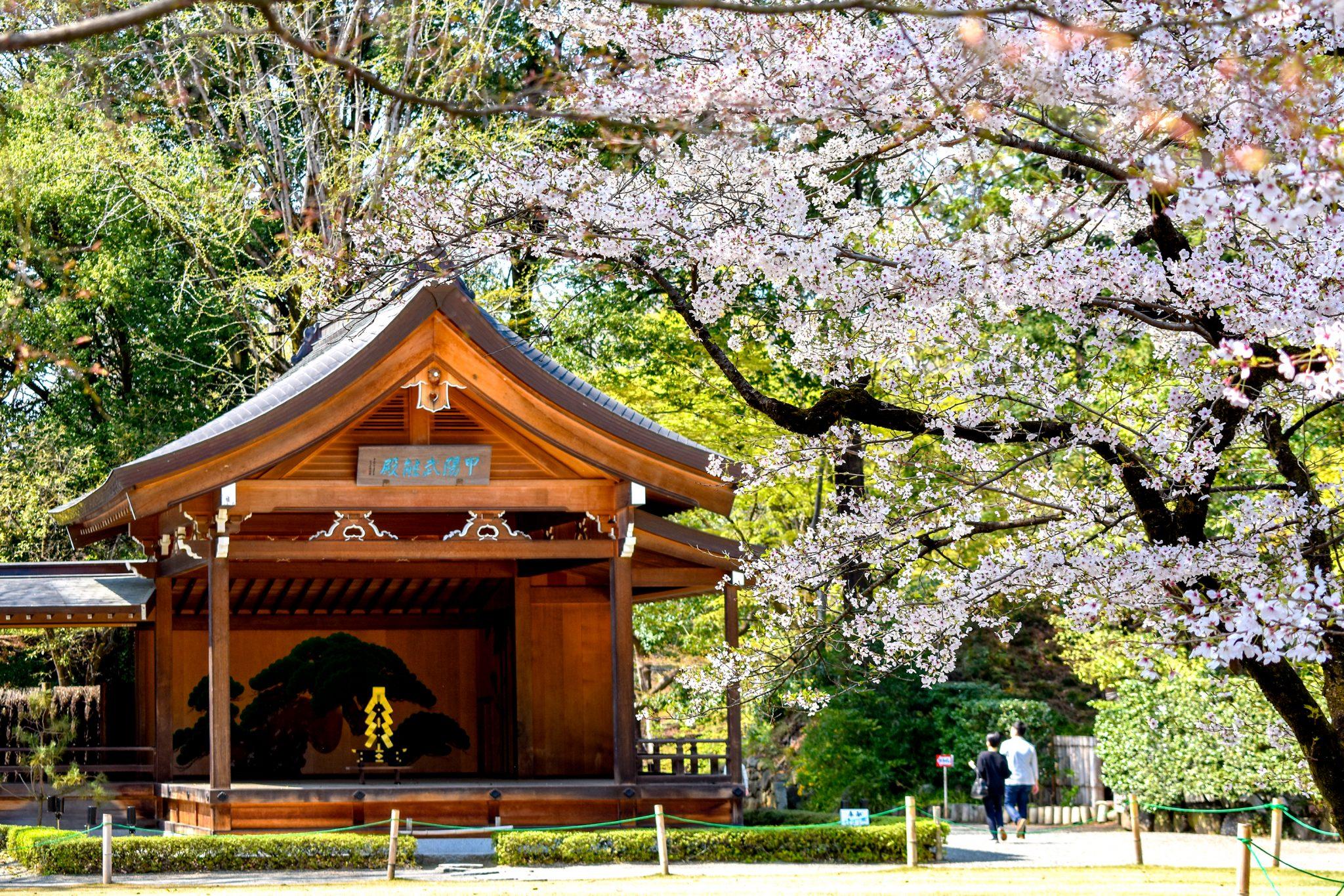 武田神社 武田通りの桜 写真1