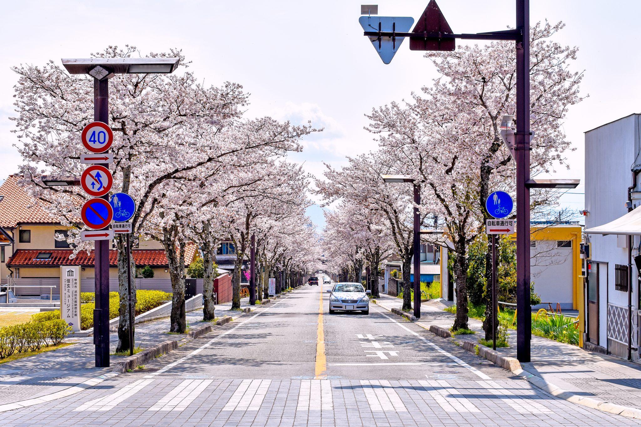 武田神社 武田通りの桜 写真3