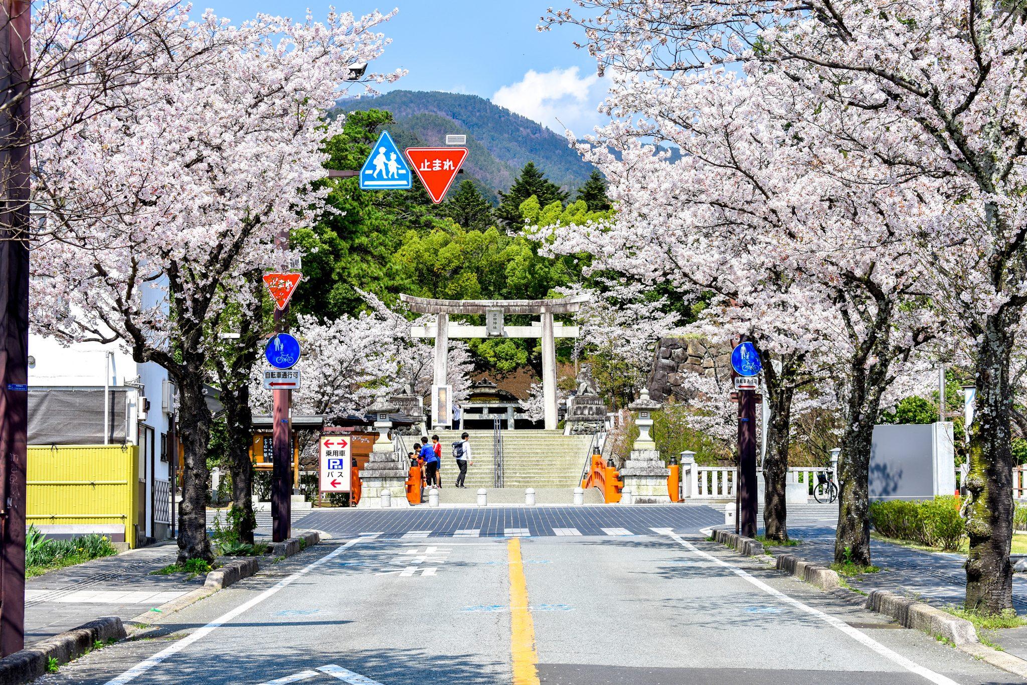 武田神社 武田通りの桜 写真6