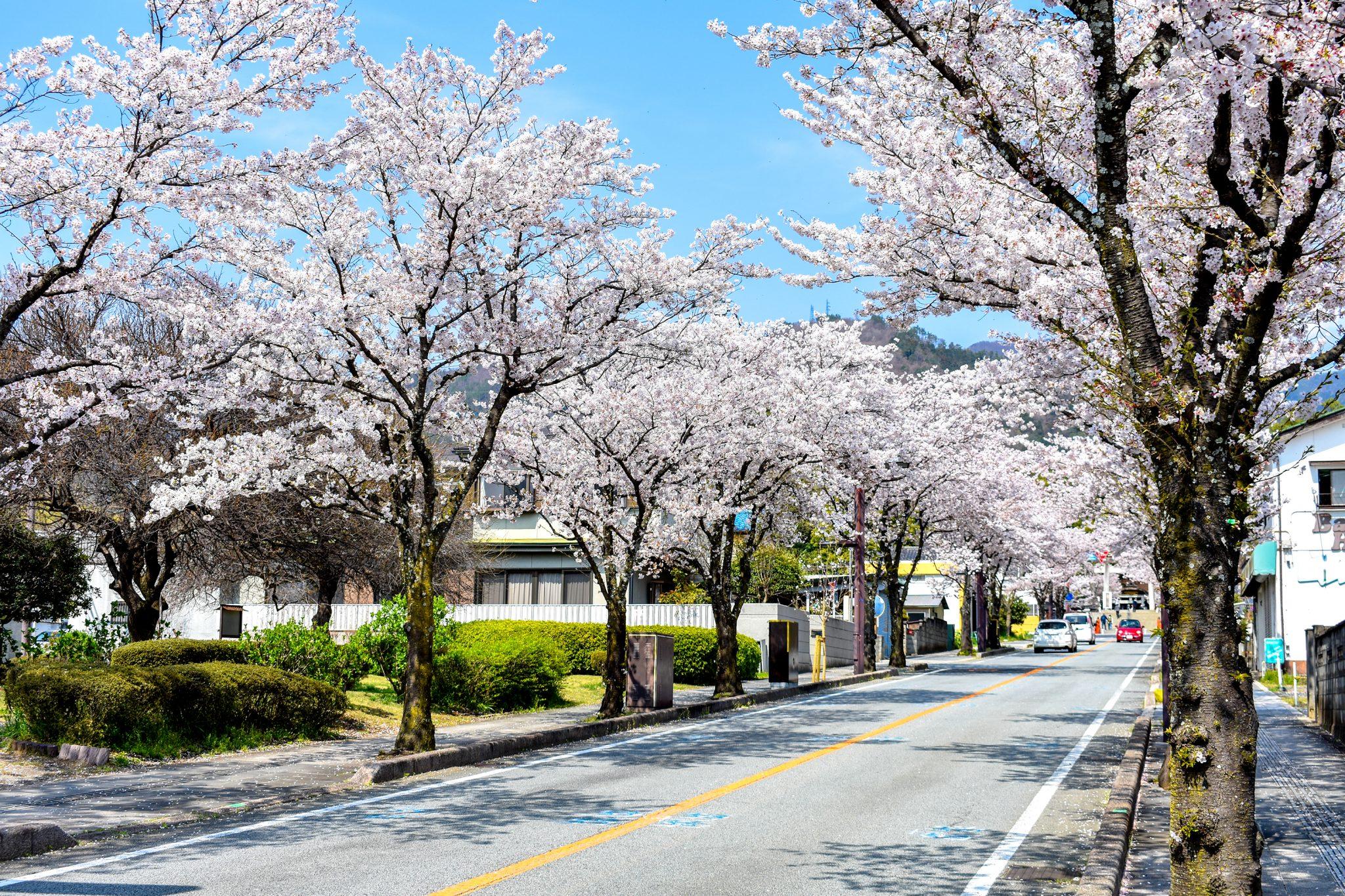 武田神社 武田通りの桜 写真7
