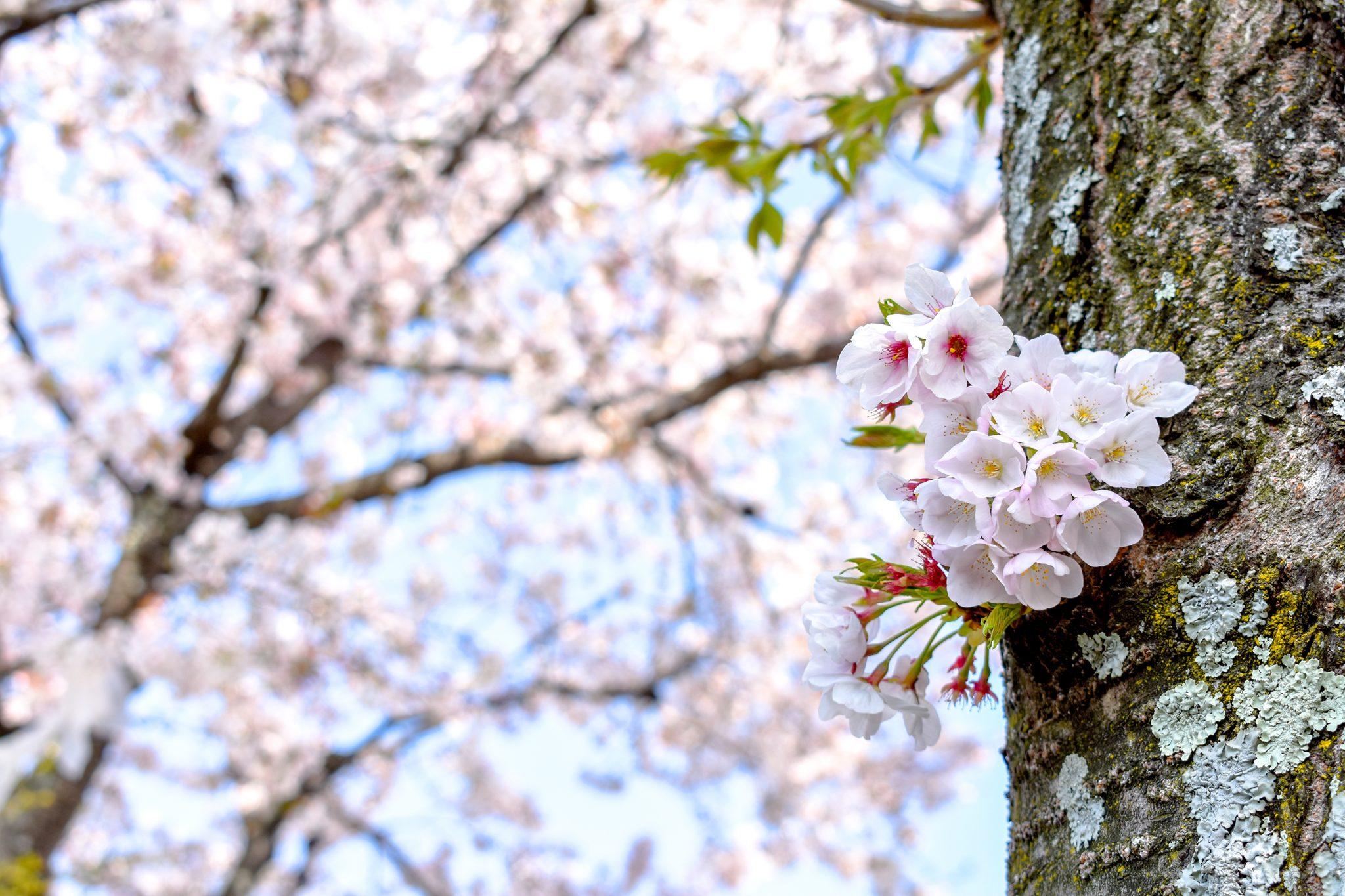 武田神社 武田通りの桜 写真8