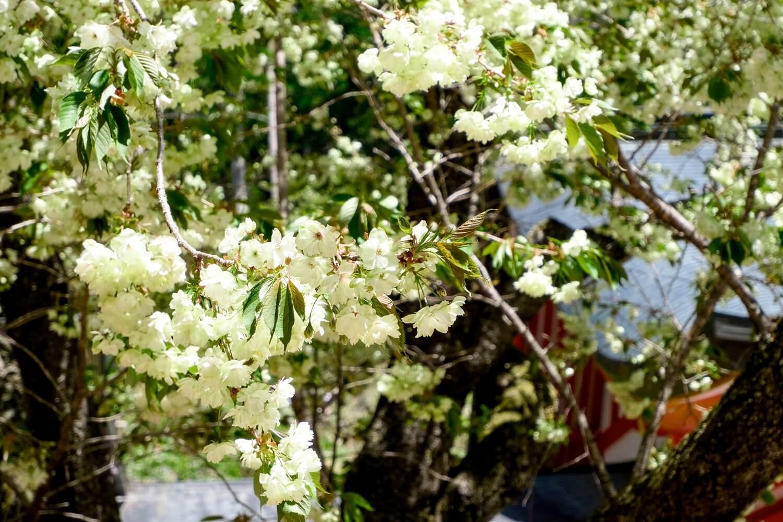 金櫻神社の桜 写真3