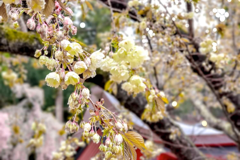 金櫻神社の桜 写真4
