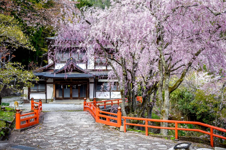 金櫻神社の桜 写真6