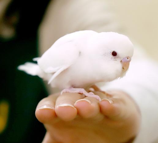 セキセイインコ(ホワイト)の写真