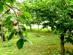 小野洋蘭果樹園 南アルプス3