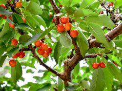 桜桃屋うちだ園 甲州市 果物狩り