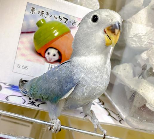 コザクラインコ(ブルー)の写真